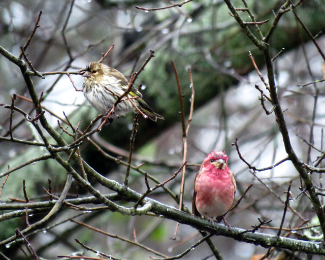 Pine Siskin and Male Purple Finch