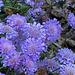Pincushion Flower (Perennial Scabiosa)