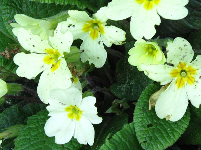 Some primroses in the driveway looking a bit worse for wear!