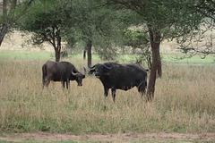 Tarangire, African Buffaloes