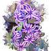 Dwarf Hyacinth