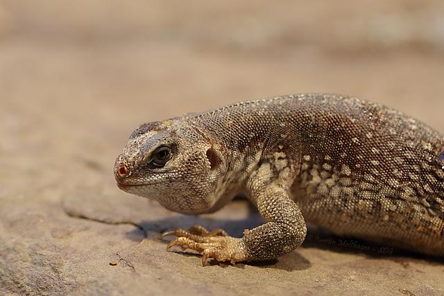 Wütender Wüstenleguan (Wilhelma)