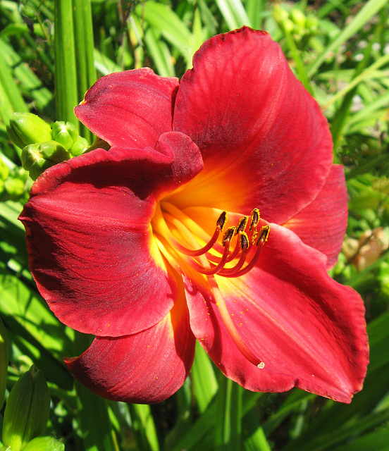 Rich Red Day Lily by My Lovely Wife