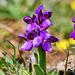 P1370468- L'Orchis bouffon (Anacamptis morio) - Rando autour d'Hostiaz.  23 avril 2021
