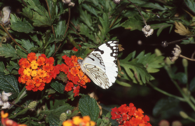 Dappled White butterfly