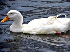 White, Duck