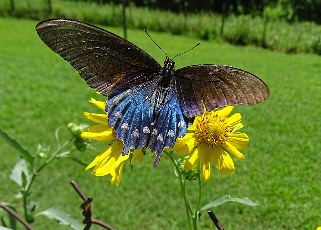 Pipevine Swallowtail (Battus philenor)(m)