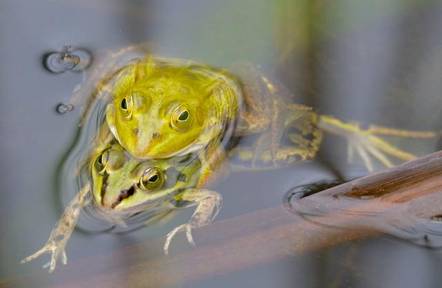 Amourette de grenouilles...