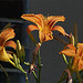 Three daylilies in the sunlight