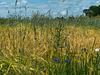 Zwei Getreidesorten auf einem Feld