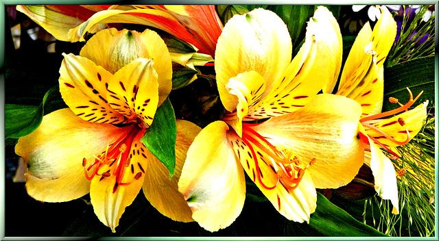 Feuer-Lilie (Lilium bulbiferum) ©UdoSm