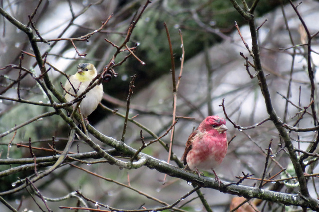 A Purple Finch and a Goldfinch