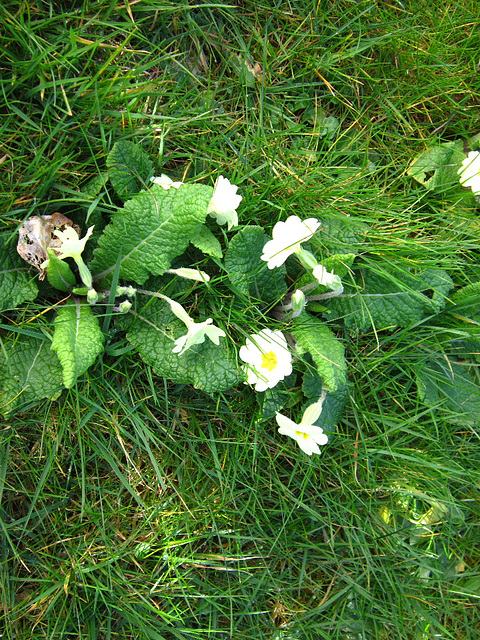 Some primroses growing in the lawn