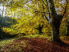 Hayas de otoño