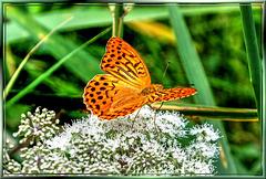 Kaisermantel (Argynnis paphia). ©UdoSm