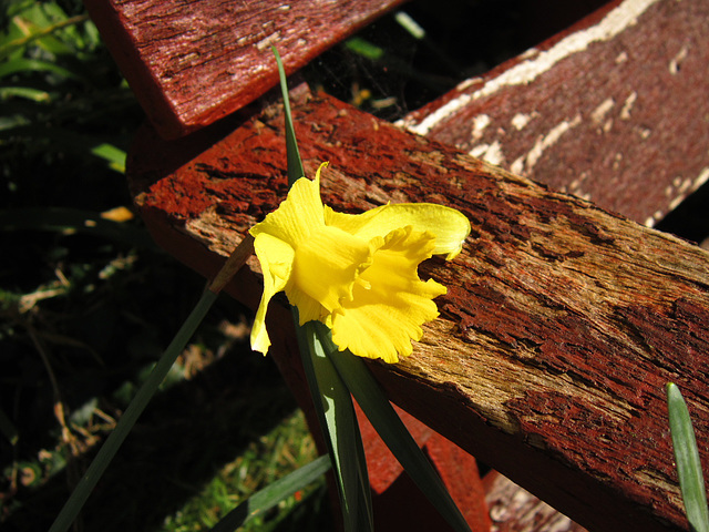 A lonely daffodil