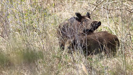 Sangliers - Wild boar