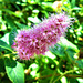 Amazing flower of the Spirea