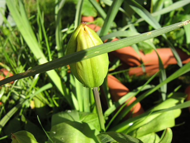 A new tulip starting