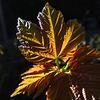 Backlit Sycamore Leaf