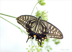 Papilio xuthus (Asian yellow swallowtail butterfly)...