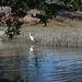 SFO Bayfront park / egret / breakfast (# 0567)