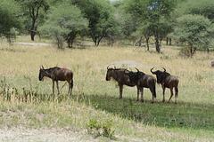 Tarangire, A Small Herd of Wildebeest