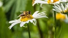 Daisy, Honey Bee Mimic