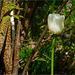 A White Tulip