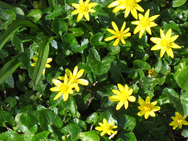 There's a carpet of celandines in the driveway
