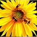 Hover Flies and Bumblebee. ©UdoSm