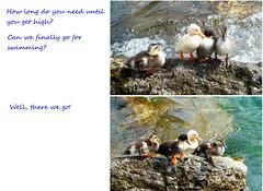 Entenküken unter sich... Ducklings among themselves... ©UdoSm