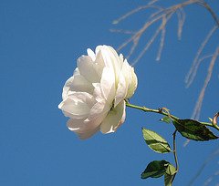 The Single White Rose