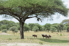 Tarangire, A Small Herd of Wildebeest under Acacia