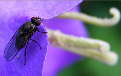 2 (13)...austria fly insect