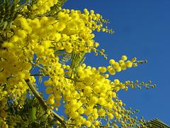 Le Mimosa, c'est du Soleil à la fin de l'hiver