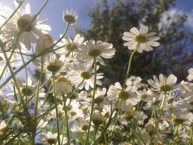 Some daisies in Mandi's garden