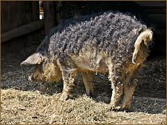 Das Wollschwein - Magalica