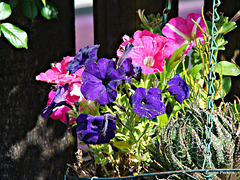 Petunias In A Hanging Basket,