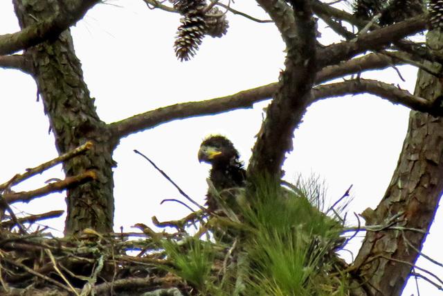 Eaglet on Nest