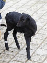Schwarzes Schaf (Wilhelma)