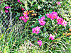 Bush Roses.