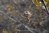 Argiope lobata (Pallas, 1772) Cesteira-dos-matos