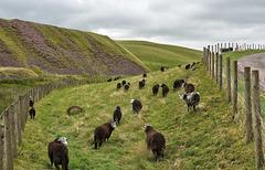 """HFF- """"Baa-ram-ewe"""" from the Lake District"""