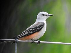 Day 5, Scissor-tailed Flycatcher, King Ranch