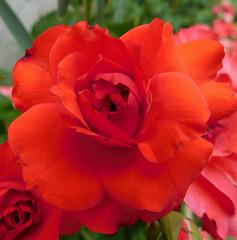 Une rose rouge pour...