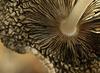 Harefoot mushroom ~ Hazenpootje (Coprinopsis lagopus)