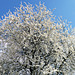 Primavera - (PiP)