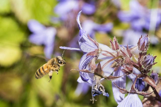 Honey Bee on bluebells and Nettle flowers
