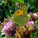 Clouded yellow on red clover